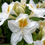 الأزاليا البيضاء Rhododendron Persil